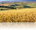 Wheat Fied, Palouse, Washington State, USA
